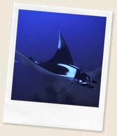 Manta-ray-07b